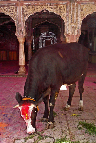 Holy Cow in a Temple During Holi, the Festival of Colours, in Jaipur, India