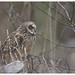 Short-Eared Owl by Pete Walkden