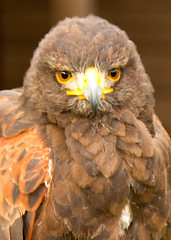 animal, bird of prey, eagle, fauna, close-up, accipitriformes, beak, bird, wildlife,