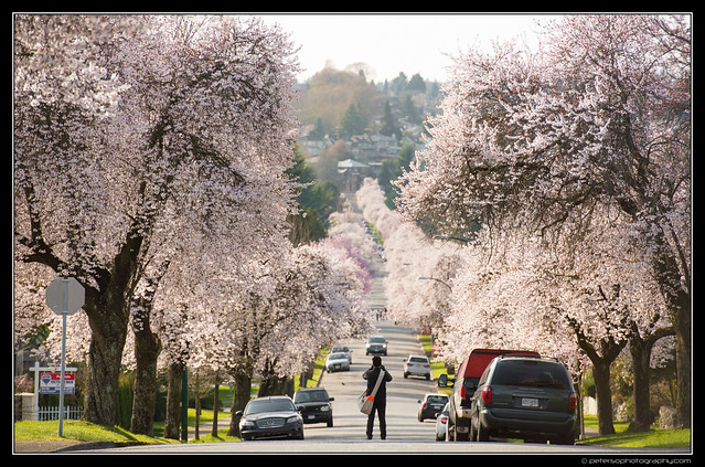 Cherry blossom lined streets of Vancouver!