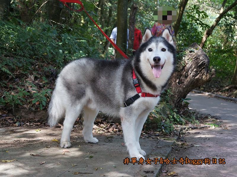 哈士奇Doggy2013陽明山二子坪01