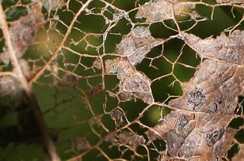 Lacy Leaf
