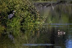 Meadowbrook Pond Standoff