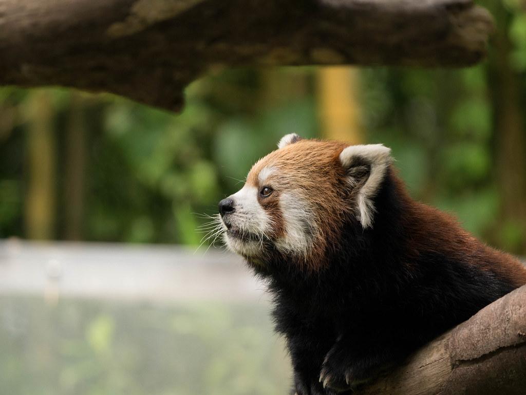 レッサーパンダの横顔