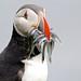 Mormonas (Fratercula arctica) Puffin - IMG_5863.jpg pufinas