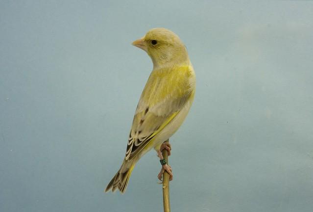 verderón ágata pico amarillo, macho