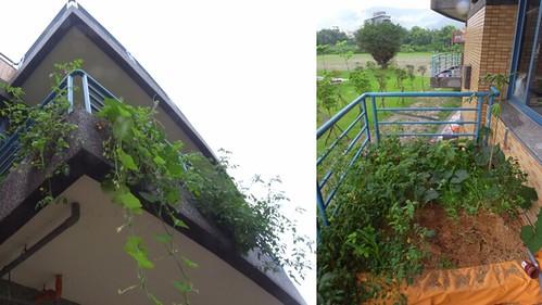 教室外二樓陽台,爬滿了好吃的植物。圖為夏季盛產貌。(來源:小跳)