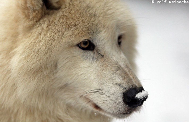 Arctic Wolf - Zoo Schönbrunn January 2015 03