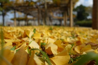Carpet of fallen leaves of ginkgo in Mejo park No.1.