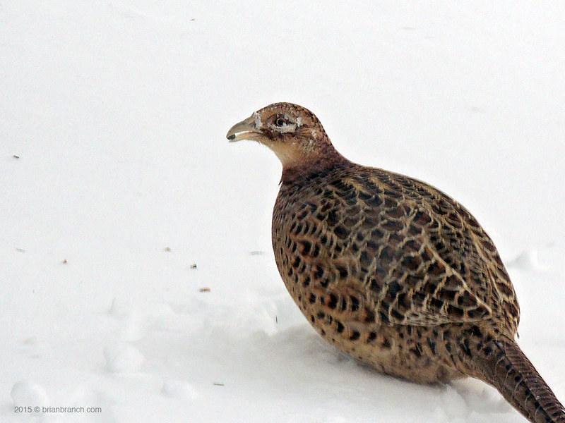 DSCN9490_pheasant