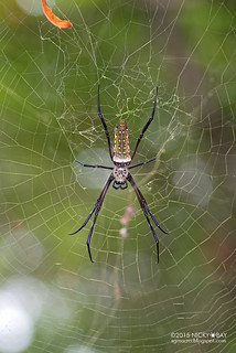 Golden orb web spider (Trichonephila antipodiana) - DSC_1829