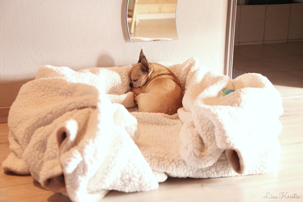 chihuahua bed sleeping corner setup mirror blankets cozy weekend away dog small tiny breed cute toys fleece