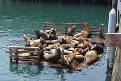 Lions de mer dans le port de Monterey