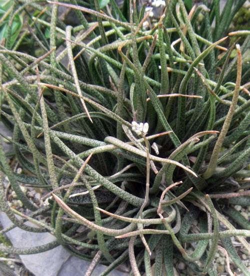 Aloe albiflora 16131706477_1800b52716_o
