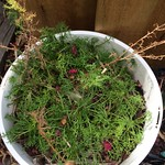 chamomile planting in Coburg Herbs by bobb3666