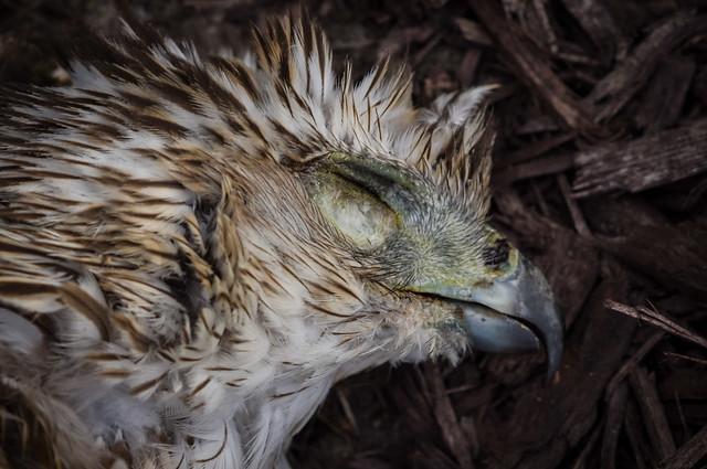 Expired Cooper's Hawk