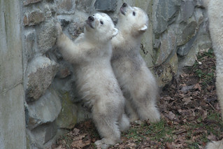 Ouwehands Dierenpark Polar Bear with cubs