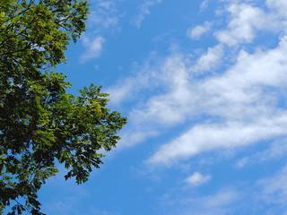 Brazilian tree against the blue sky.