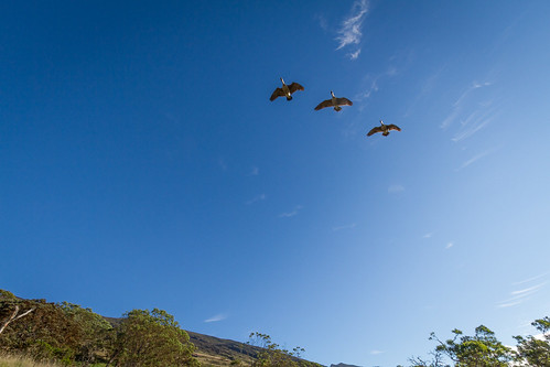 Nēnē, the Hawaiian Goose, flying across Nakula sky.