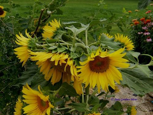 sunflowers sunflower variety