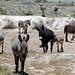 Wild Donkey herd running free in the Arizona Desert. by Rickd248
