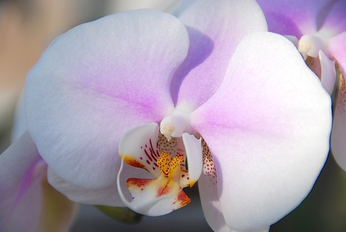 The Οψις of a Phalaenopsis!
