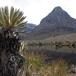 Mo, 02.03.15 - 12:09 - Frailejones oder Schopfrosetten. DIE prägende Pflanze des Paramo, einer Klimazone der Anden