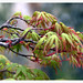 Small photo of Acer palmatum abriendo su primavera