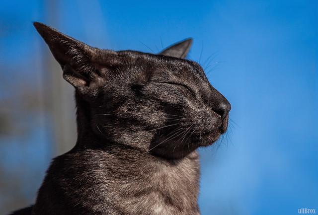 Die Sonne genießen. N'Jumo, Orientalisch Kurzhaar.