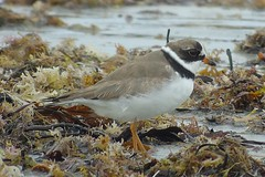 Shorebirds & Auks
