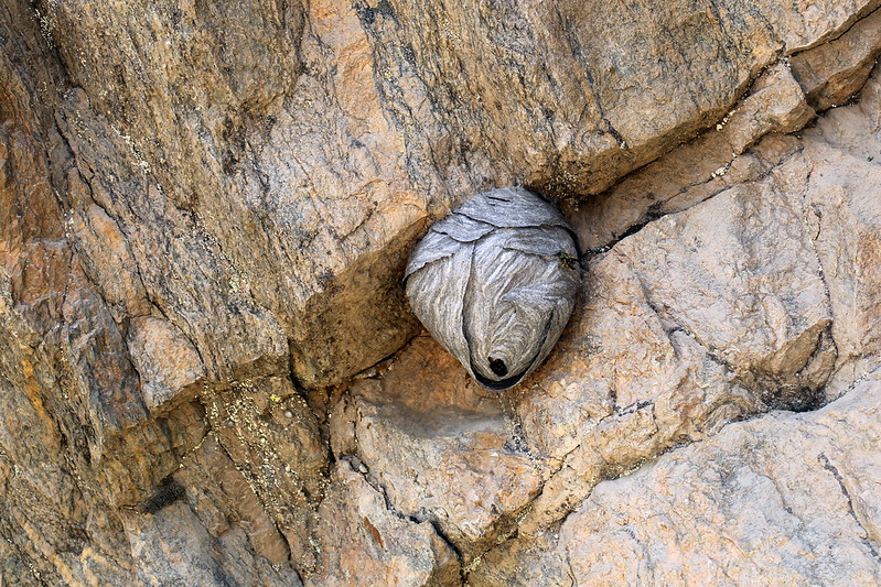 2016 8 12 - Granite Paper Wasp Nest - FRR - 9S3A1527