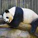 Sleeping Giant Panda at the San Diego Zoo