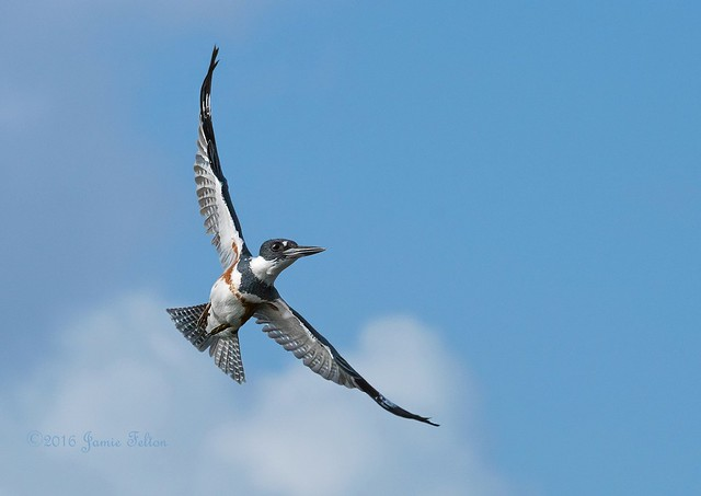 Belted Kingfisher female in flight