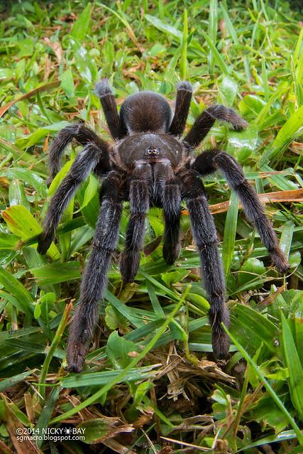 Black tarantula (Selenocosmia sp.) - DSC_3324