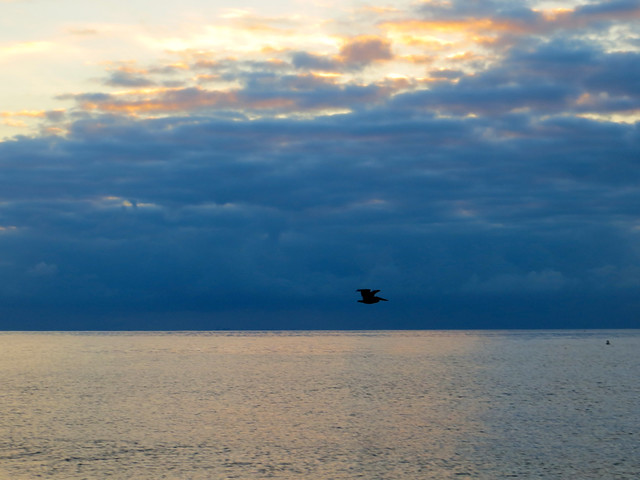 pelican at dawn