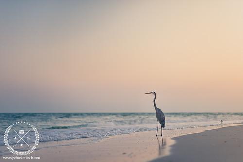 november southwest bird beach heron gulfofmexico nature water evening coast sand nikon florida wildlife 85mm naturallight inlet fl greatblueheron shorebird 2014 bocagrande d610 nikkor85mmf14d jschusteritsch jonschusteritsch