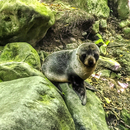 New Zealand fur seal pup at Ohau Stream