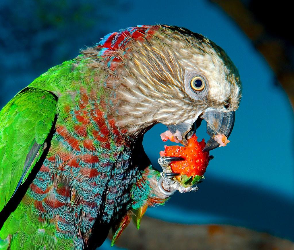 Red-fan Parrot (Deroptyus accipitrinus)_7