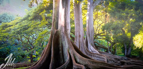 tree garden botanical hawaii bay fig sony kauai poipu fe banyan allerton moreton 2470 a7r