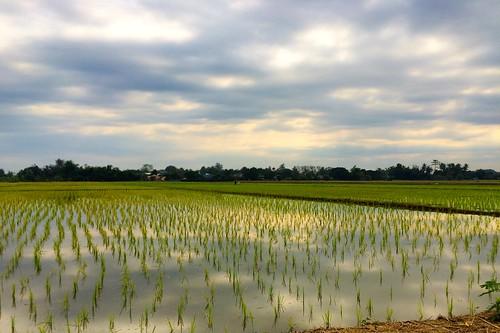 thailand asia chiangmai ricefields rijstvelden
