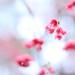 第 一 次 櫻 花 by Wilson Au | 一期一会