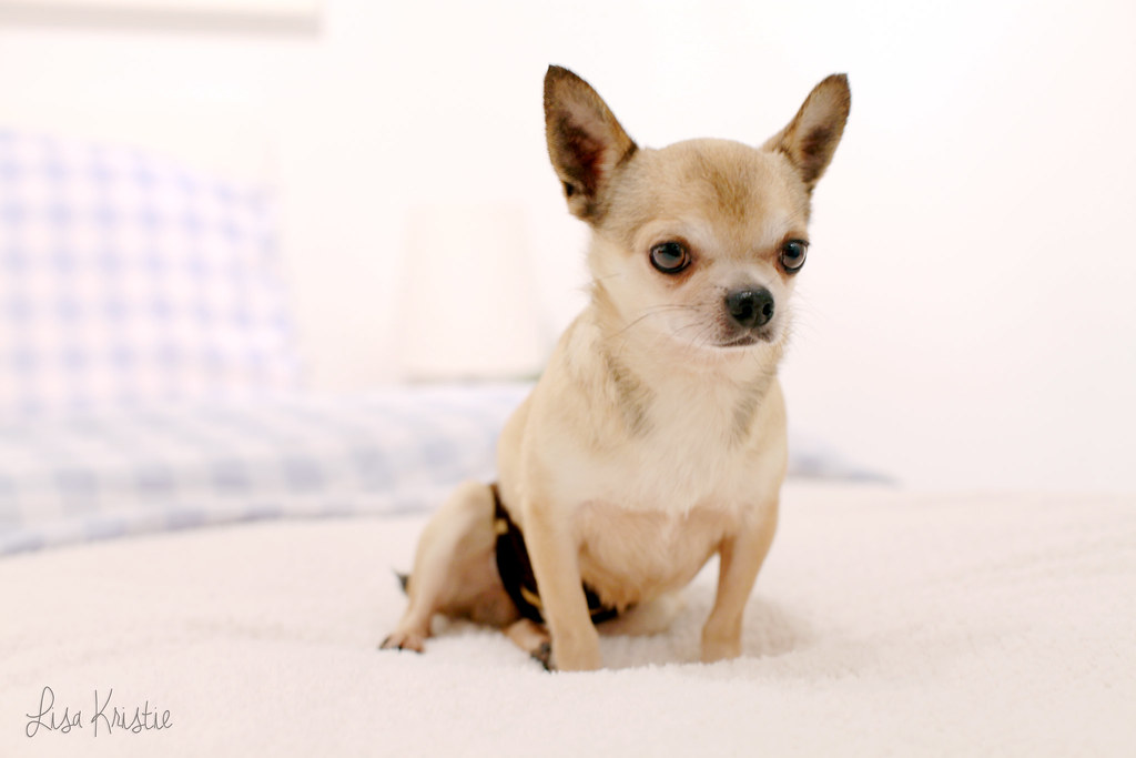 wolfthedog chihuahua portrait male adult breeder smooth coat short haired tan cream brown white black cute adorable tiny small dog breed canon 5D Markii home bed big ears diaper
