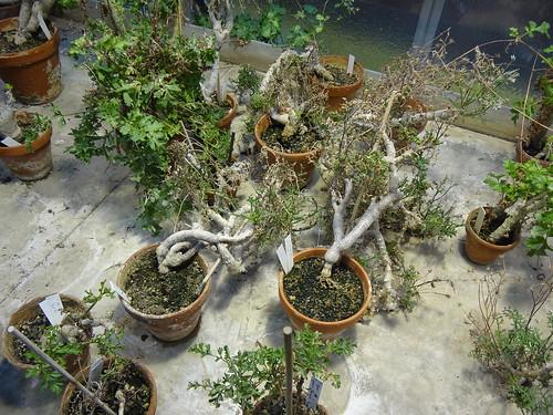 Plants of P. ceratophyllum (sect. Otidia)