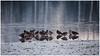Redshanks huddling in the icy water
