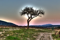 Solo tree at sunset in vineyards