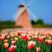 Tulips field 中社花市