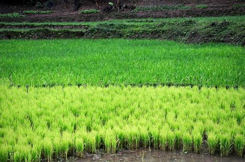 asia vert laos rizière