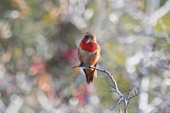 IMG_1403.jpg  Allen's Hummingbird, UCSC Arboretum