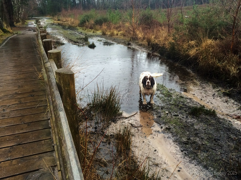 Wet dog on a wet heath