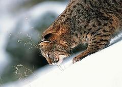 羅馬尼亞國家公園中的山貓。(來源:Jiu Defile National Park)